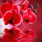 red orchids with background and water